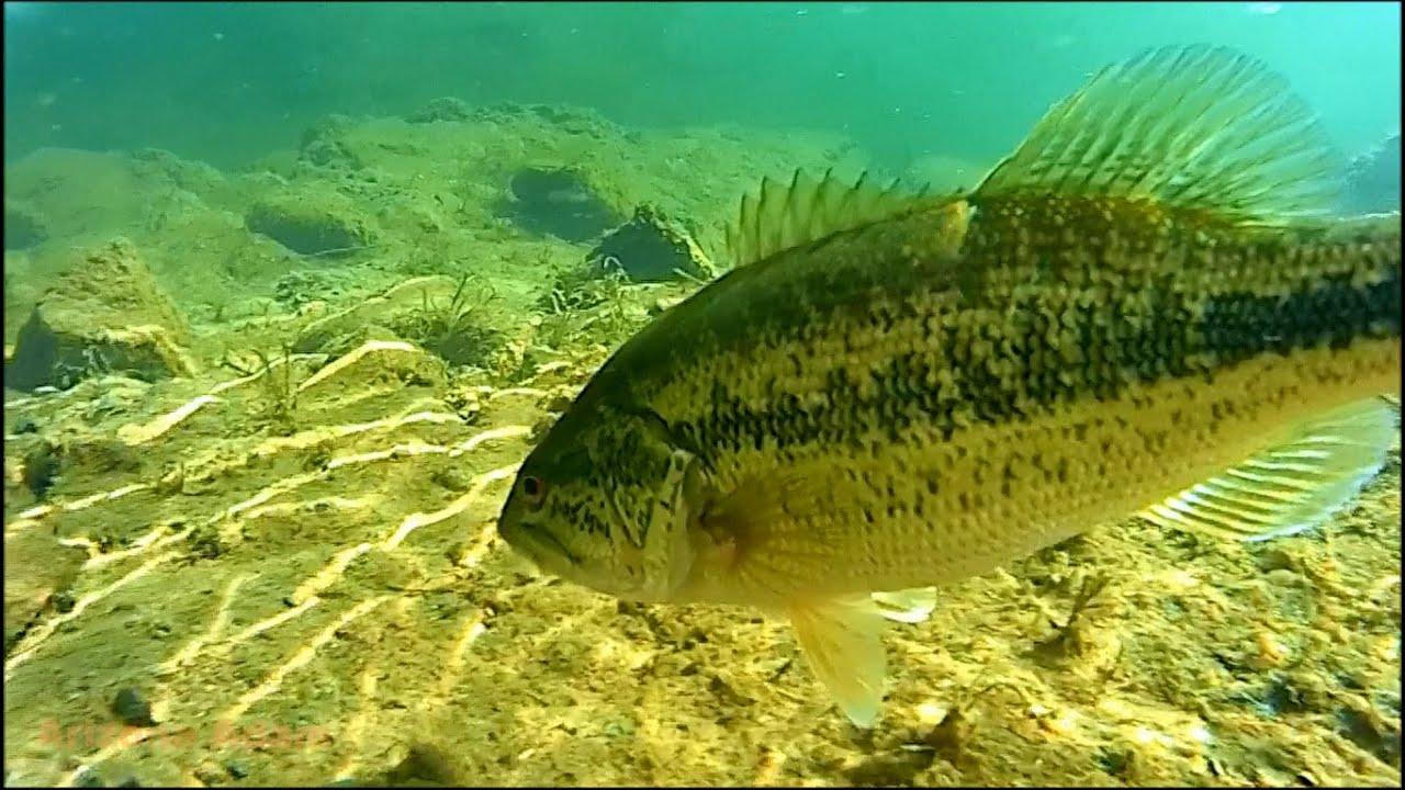 Arizona salt river largemouth bass fishing youtube for Bass fishing az