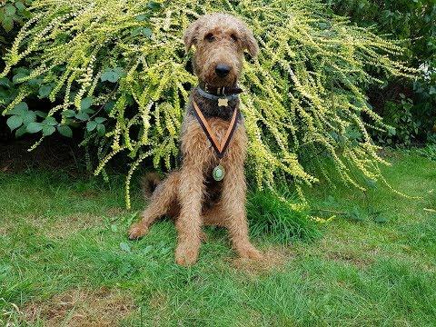 Jack - Airedale Terrier - 3 Weeks Residential Dog Training