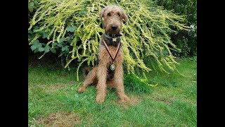 Video Jack - Airedale Terrier - 3 Weeks Residential Dog Training download MP3, 3GP, MP4, WEBM, AVI, FLV Desember 2017