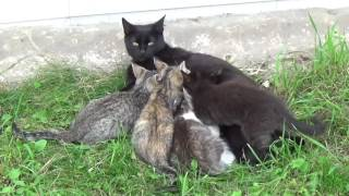 Заботливая мама кошка и котята на видео