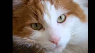 Photos of my cat breed Turkish Van
