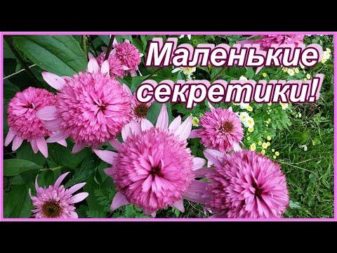 Эхинацея пурпурная махровая - королевские ромашки. В чем секреты ее выращивания?