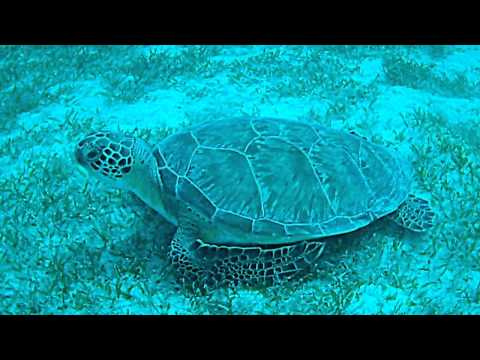 Sea turtle grazing on a bed of sea grass by Grassy Key