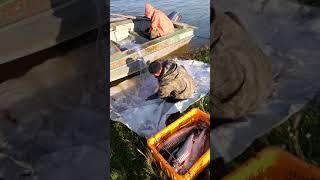 Выбираем из сетей улов кеты Рыбалка сплавными сетями Путина красной рыбы