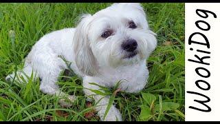 Malshi Dog Chilling Out listening to birds, Wookidog [Maltese Shih Tzu] 4K Dog Video