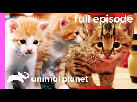 Domestic Shorthair, Savannah, and Siberian Kittens! | Too Cute! (Full Episode)