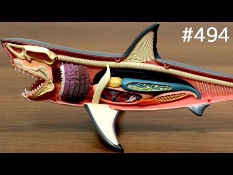 サメ解剖モデルで遊んだり食べたり / Great White Shark Anatomy Model. puzzle