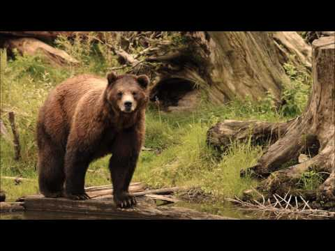 Bear Sounds   Ringtones for Android   Animal Ringtones