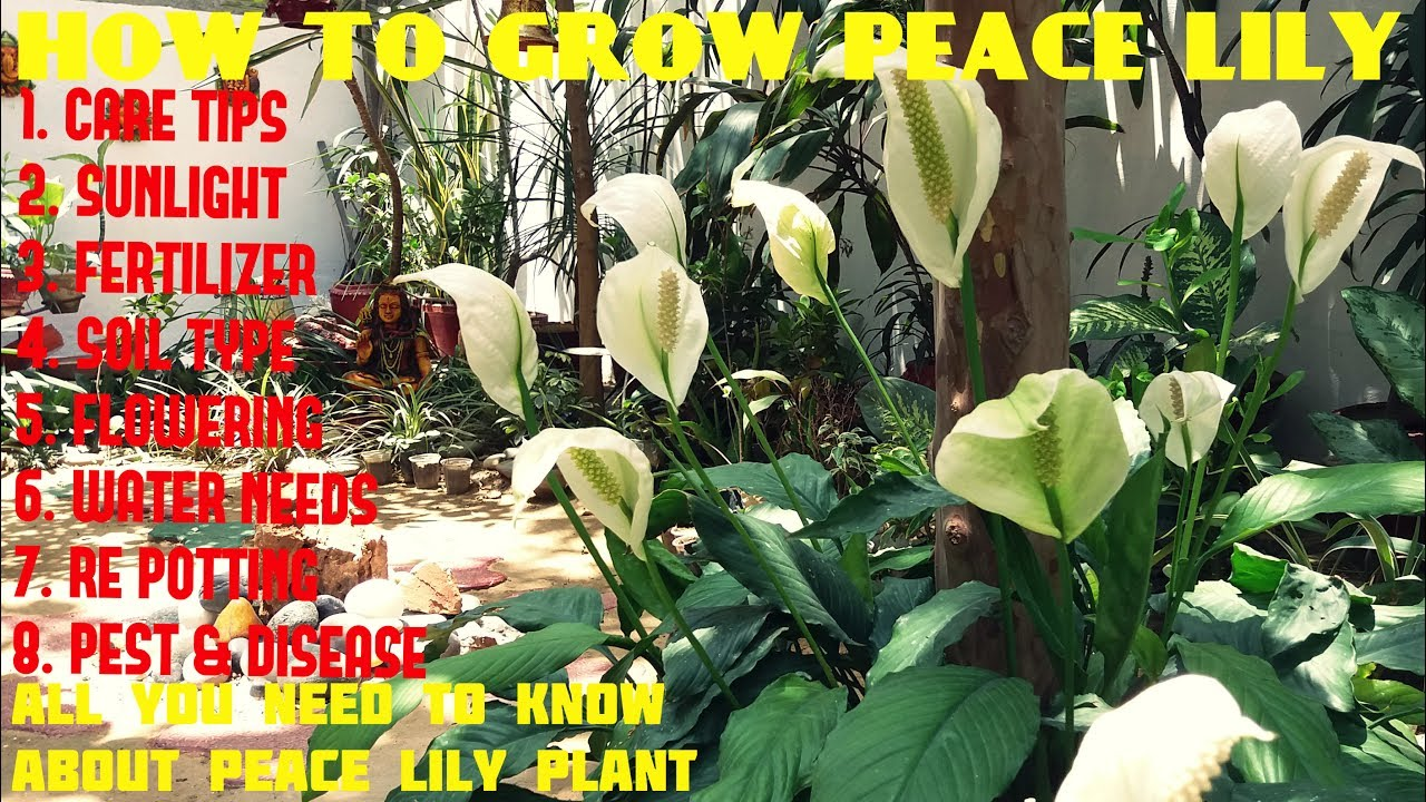 How to Grow a Peace Lily - YouTube House Plant Peace Lily Problems on peace lily problems white residue, peace lily plant brown leaves, jade house plant problems, begonia house plant problems, peace lily indoor plant, gardenia house plant problems, peace lily plant care of,