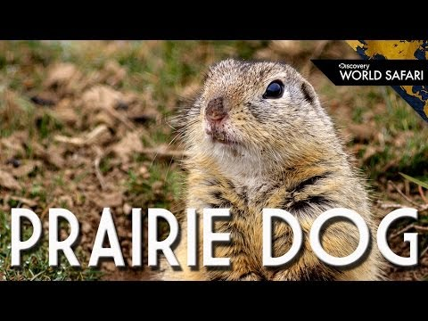 Prairie dogs recognize each other by kissing youtube prairie dogs recognize each other by kissing m4hsunfo