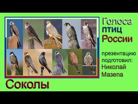 Соколы. Голоса птиц России