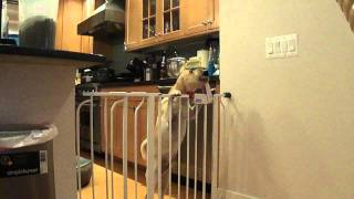 Smart Puggle (pug/beagle Mix) Escapes From Puppy/baby Gates