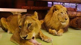 今日は鶏肉をもらっていたライオン、リッキー(オス/10歳)とティモン(...