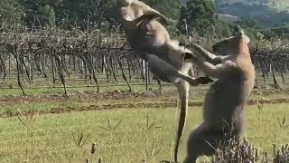 Two kangaroos caught on video boxing between grapevines at a Queensland winery