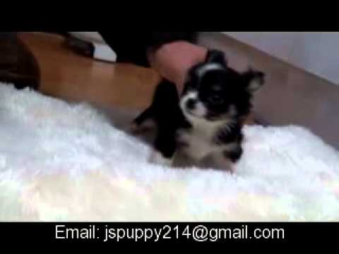 amazing fantastic teacup chihuahua with long hair for sale
