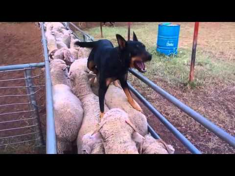 Gulligal Minka and Poncho loading sheep April 2015