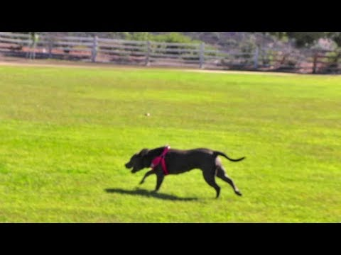 Rescue Pitbull Runs Free For The First Time