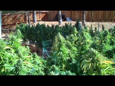 CALIFORNIA-Willits-2015-WEED-Sour Diesel Crop-TheZuell
