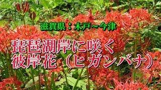 琵琶湖岸に咲く彼岸花(ヒガンバナ)滋賀県:木戸~今津 天気の良い日に...