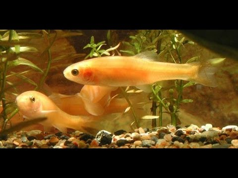 Rosy Red Minnows With Goldfish