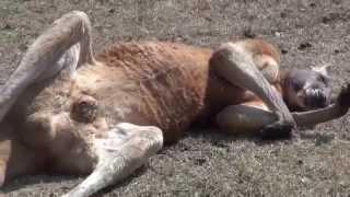 カンガルーのみなさん全員爆睡です 仰向けで寝ています.