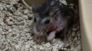 A very itchy dwarf hamster