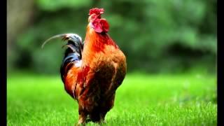 Sonnerie Reveil Chant du Coq