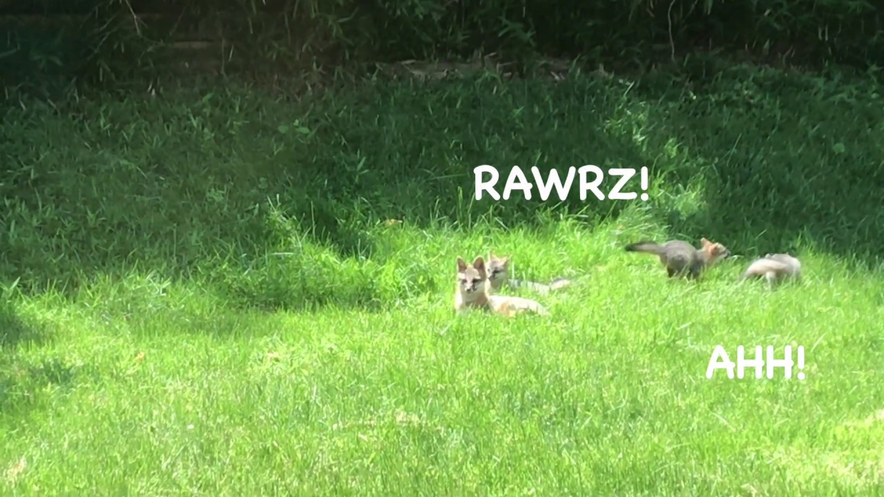 Fox family in my back yard! - YouTube