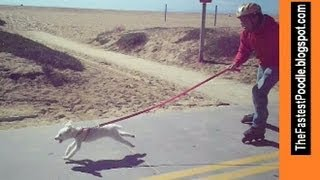 Urban Dog Mushing In Newport Beach - The Fastest Poodle - Funny And Amazing