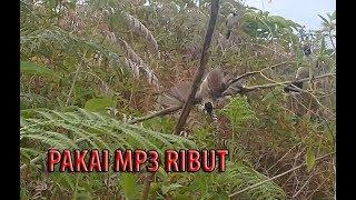 Pikat burung Kutilang menggunakan mp3 mantap