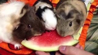 Guinea Pigs Eating Watermelon