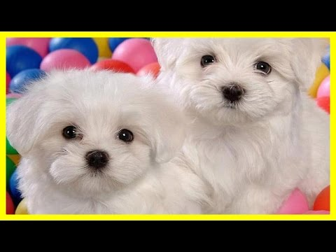 All Cutest Moment of Bichons so Funny