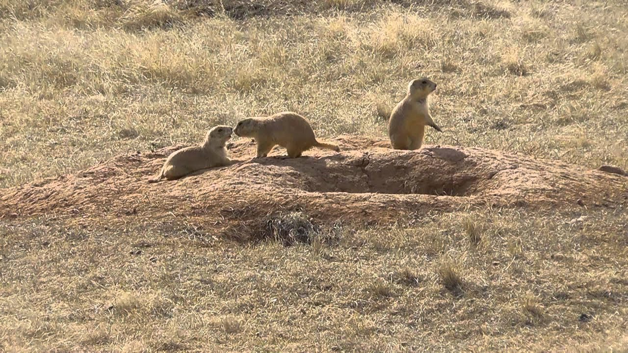 Prairie Dog Town Pictures