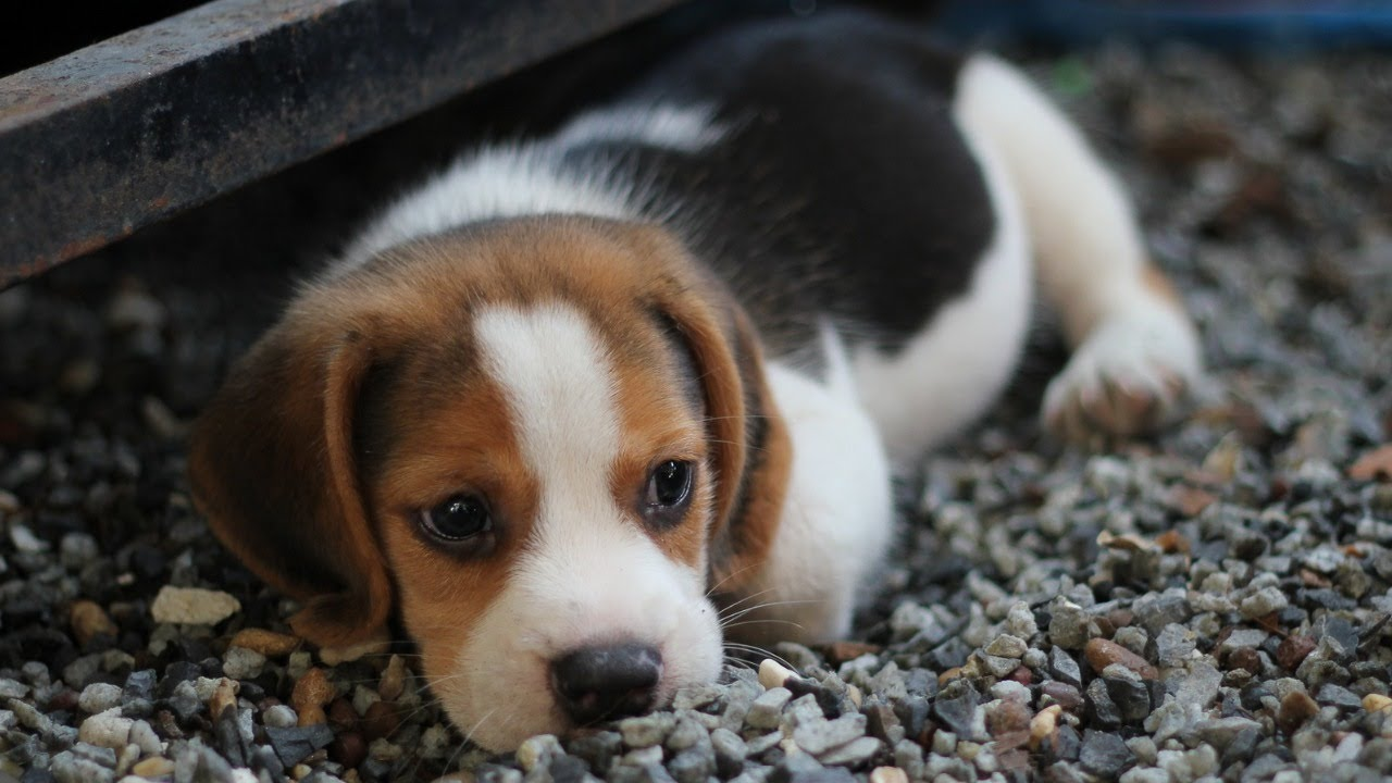 Cute Puppies & Relaxing Piano Music│Sleeping, Soothing Music, Stress Relief, Sleep