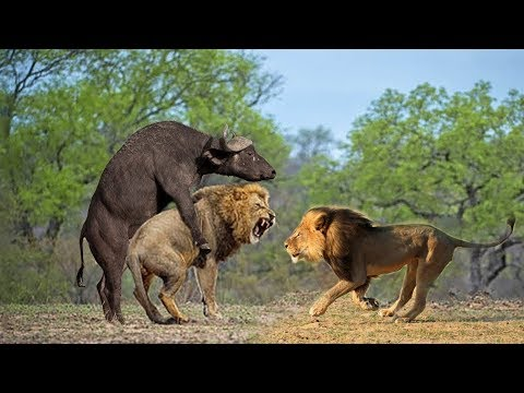 Wild Animals Fight Powerful Lion vs Monkey, Buffalo | Lion Hunting  Buffalo Survival Battle