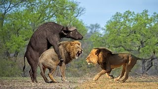 Wild Animals Fight Powerful Lion vs Monkey, Buffalo | Lion Hunting  Buffalo Survival Battle