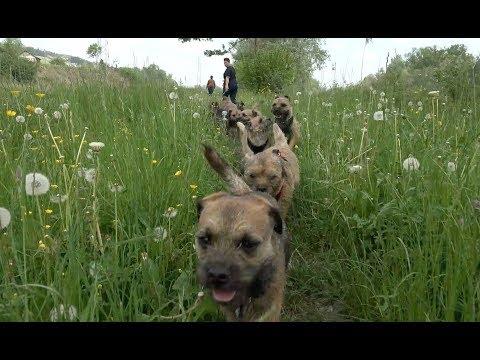 Border Terrier Treffen
