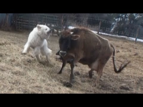 Livestock Guardian Dog Goes Crazy