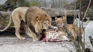 Dänischer Zoo hat Giraffe wegen Inzucht und Platzmangel getötet