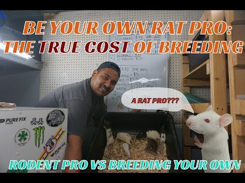 ARE RATS REALLY WORTH BREEDING TO SAVE COSTS??