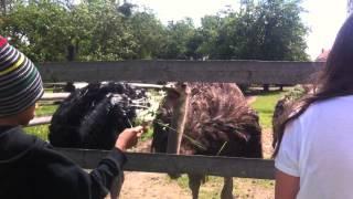Jak jedzia strusie