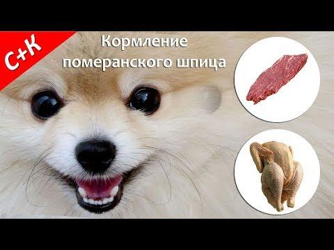 Как правильно кормить щенка померанского шпица