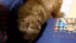 らぶ犬 ブリーダー http://www.loveken.com/ トイプードルをはじめ、か...