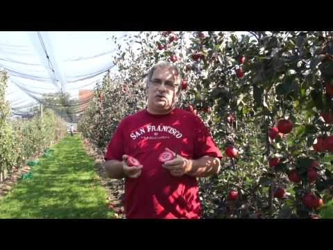 Redlove Calypso - A completely redfleshed apple (scab resistant)