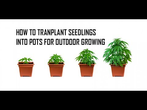 How To Transplant Seedlings Outdoors | Growing Weed Outdoors