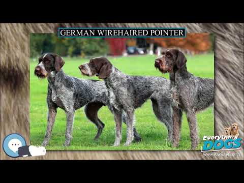 German Wirehaired Pointer  Everything Dog Breeds