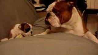 Video English Bulldog Father meets daughter first time download MP3, 3GP, MP4, WEBM, AVI, FLV Juli 2018