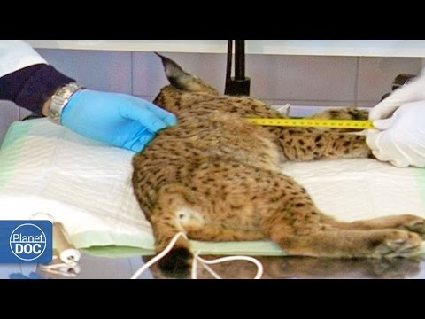 Iberian Lynx Documentary | Part 5
