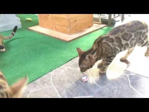 CocoBana Bengals Fight Song