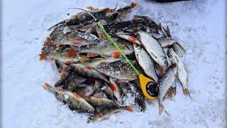 Вот это рыбалка! Бешеный клёв окуня и плотвы! Пожалуй, самая лучшая зимняя рыбалка видео!